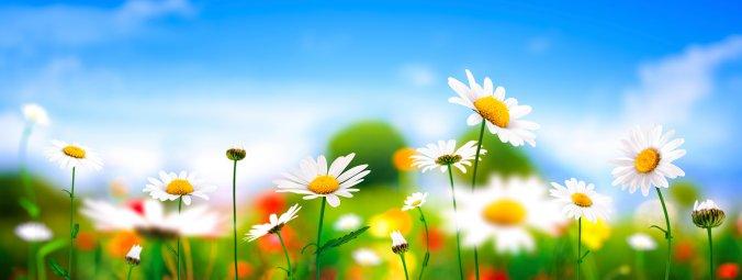 daisies-smaller